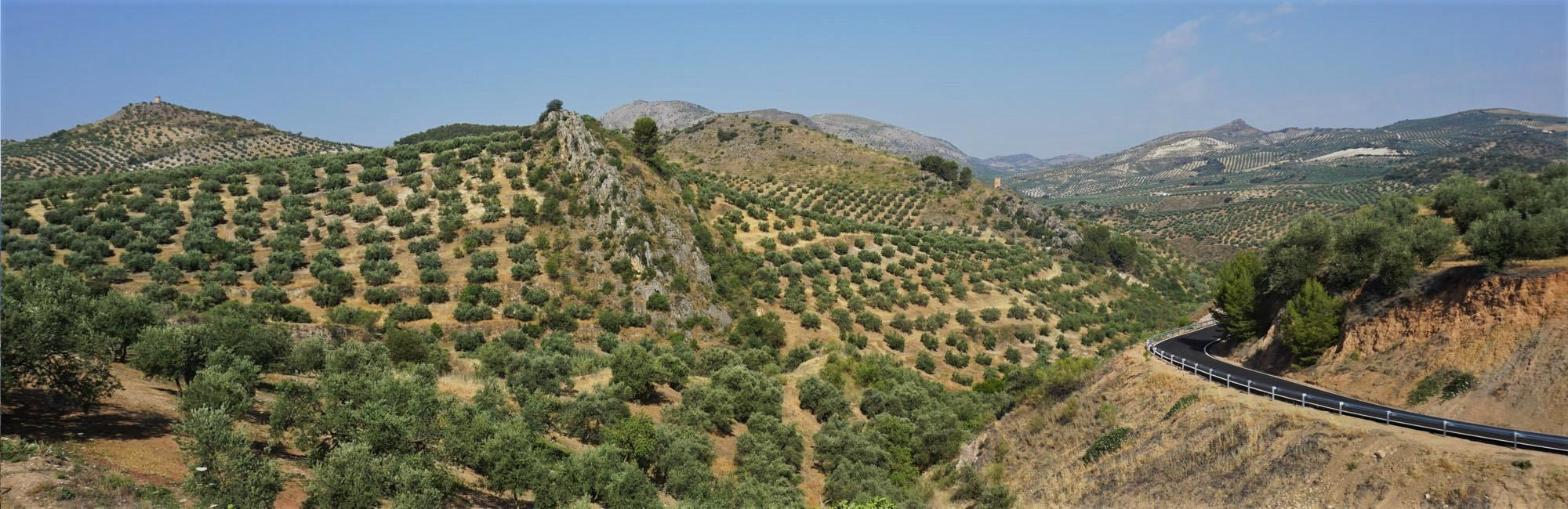 Olive groves in andalucia