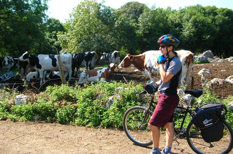 Cyclist with cows