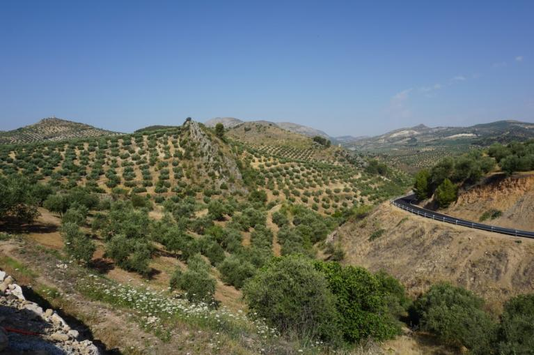 Landscape of typical olive groves of Andalusia